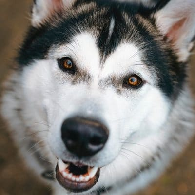 portrait of happy husky dog